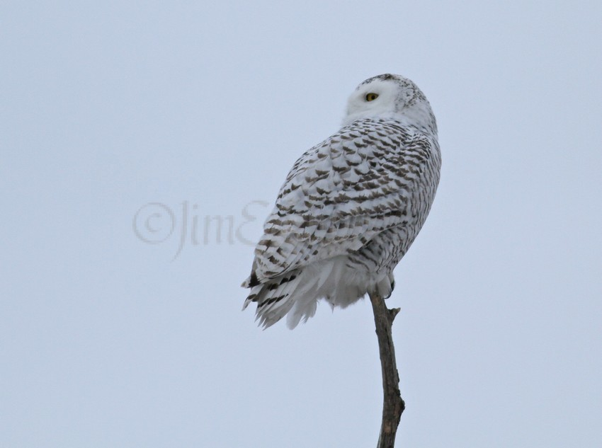 Snowy Owls Archives - Window to Wildlife - Photography by ...