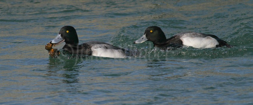 Common Goldeneye And Greater Scaup At Lakeshore State Park