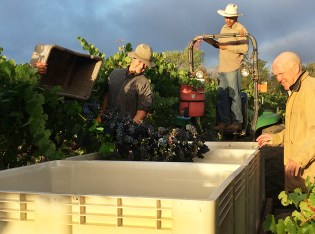 Napa Valley Harvest 2015 - Mumm Napa was the first to pick Pinot Noir grapes at the Game Farm Vineyard (Julie Santiago)