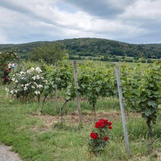 Walk in the Mosbacher vineyards, Pfalz.