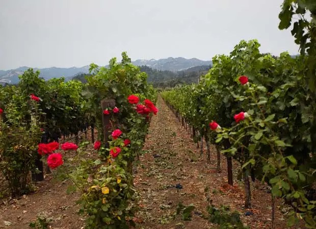 why roses and vineyards