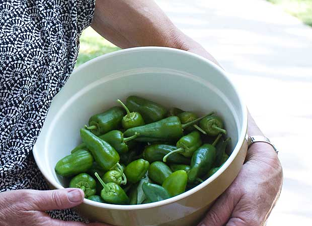 Padron peppers harvested at the Charles Krug winery