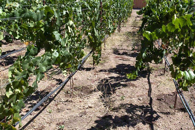 Aligote vines