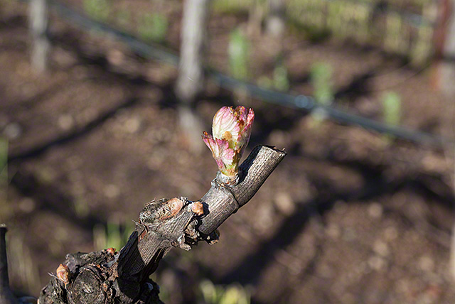 bud break 2016