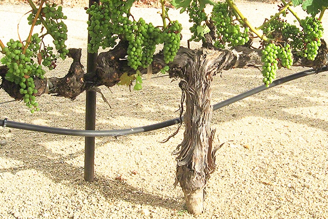 early cabernet sauvignon