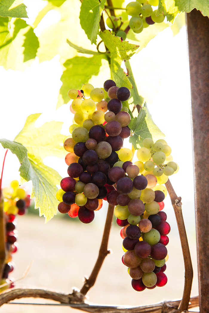 Grapes at Zenith Vineyard / Photo by Chris Low