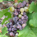 Wine Facts - Noble Rot