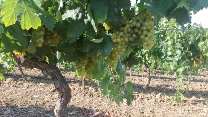 Catarratto uno dei vitigni autoctoni a bacca bianca più antichi in Sicilia