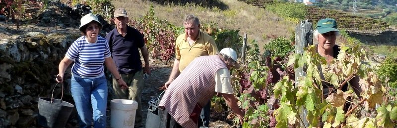 Wine Harvest in the Douro Valley
