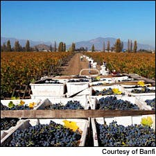 Photograph of grapes courtesy of Banfi