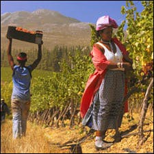 Photograph of picker courtesy of Ken Forrester Vineyards
