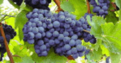 Types of Wine Grapes