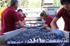 Selección manual de uva Tinta en Bodegas Verum