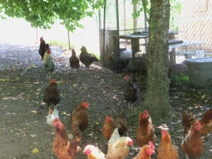 Chickens 2 SOR 002