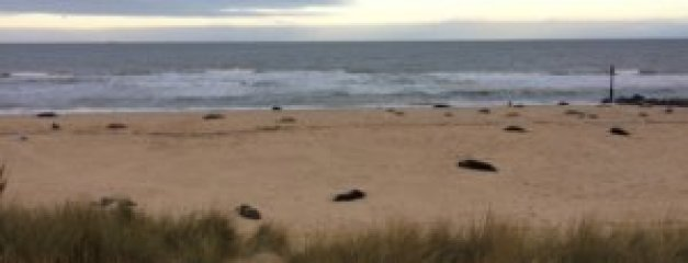 Seals at Horsey Beach, Norfolk