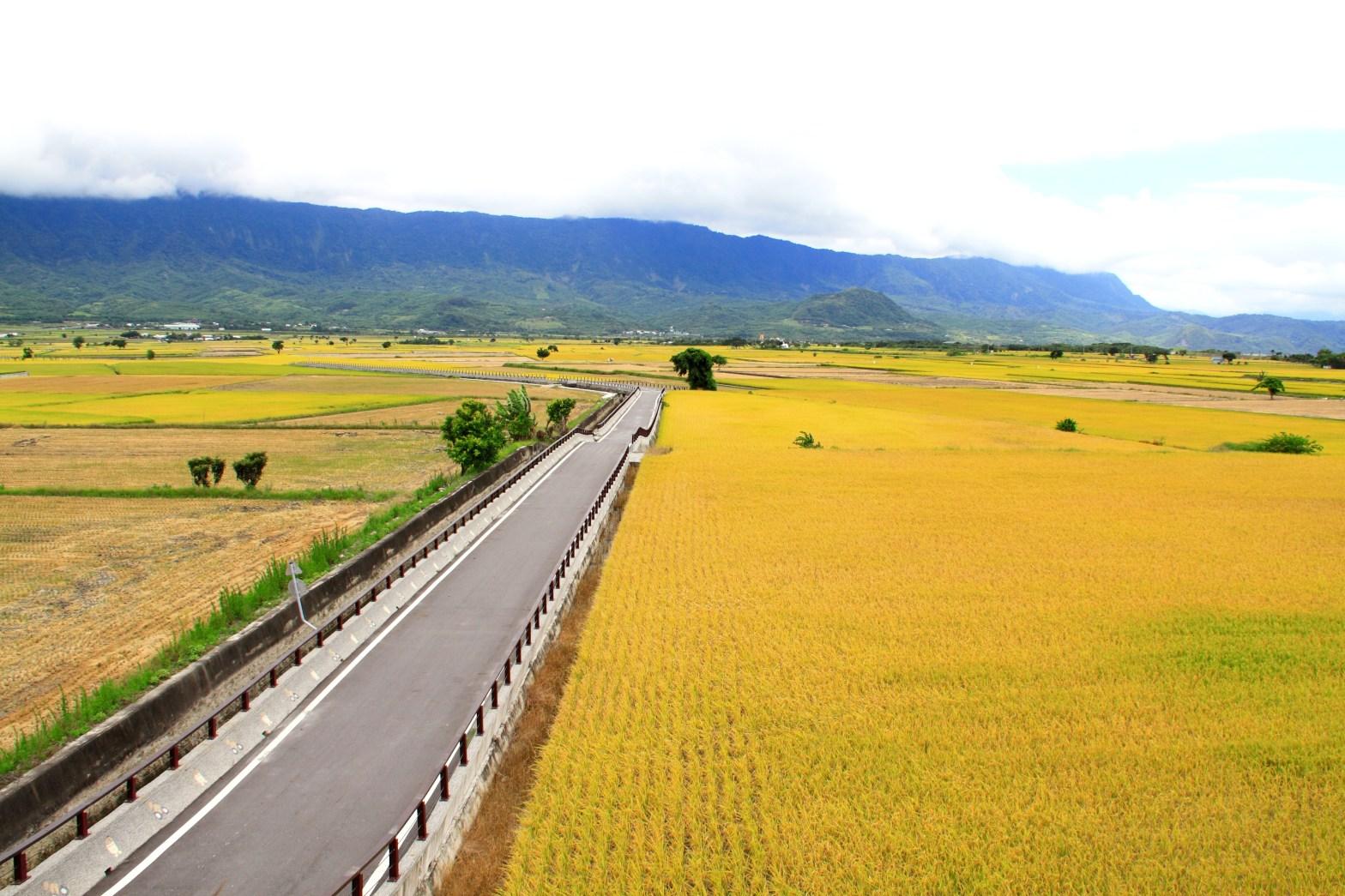 第一次看到真正的金黃色稻田
