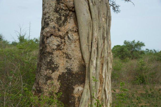 alberi udawalawe