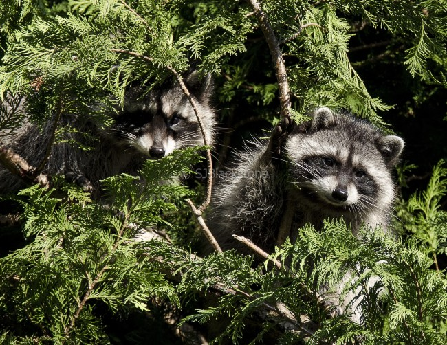 Young Racoons