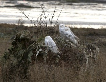 Four Snowy Owls