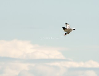 Caspian Tern in the Clouds