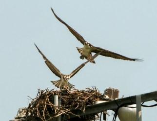 Osprey Landing After First Flight