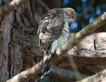 Fledgling Cooper's Hawk1