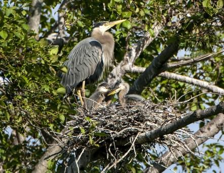 Great Blue Heron Nestlings