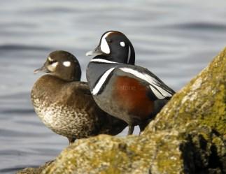 Harlequin Ducks