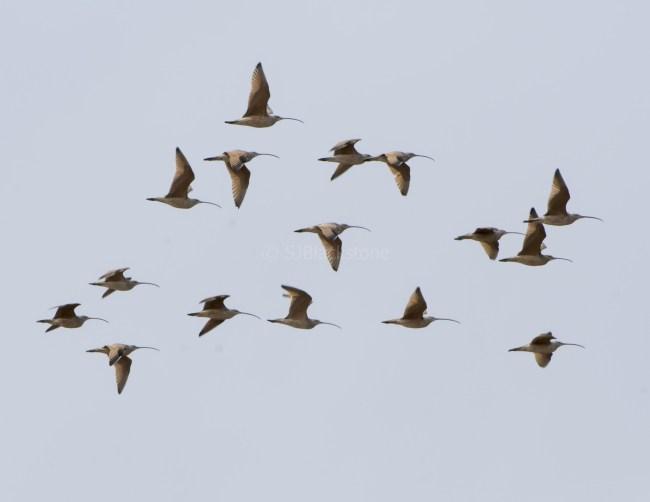 Long-Billed Curlews in Flight
