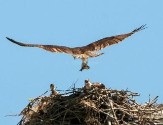 Male Osprey Brings Lunch