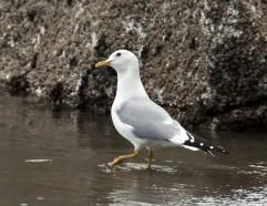 Mew Gull1