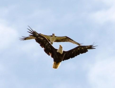 Osprey and Eagle2