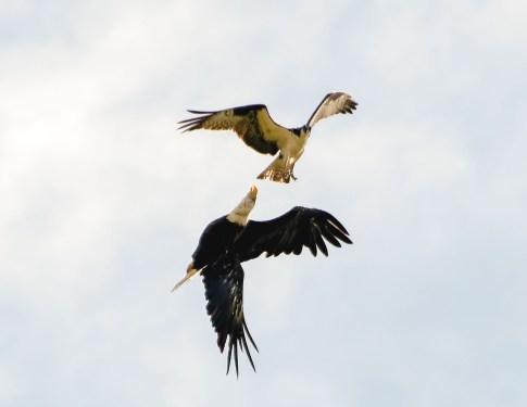 Osprey and Eagle3