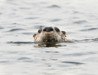 River Otter2