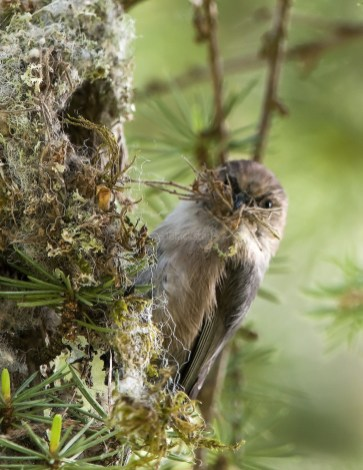 Male Bushtit Adds to Its Nest