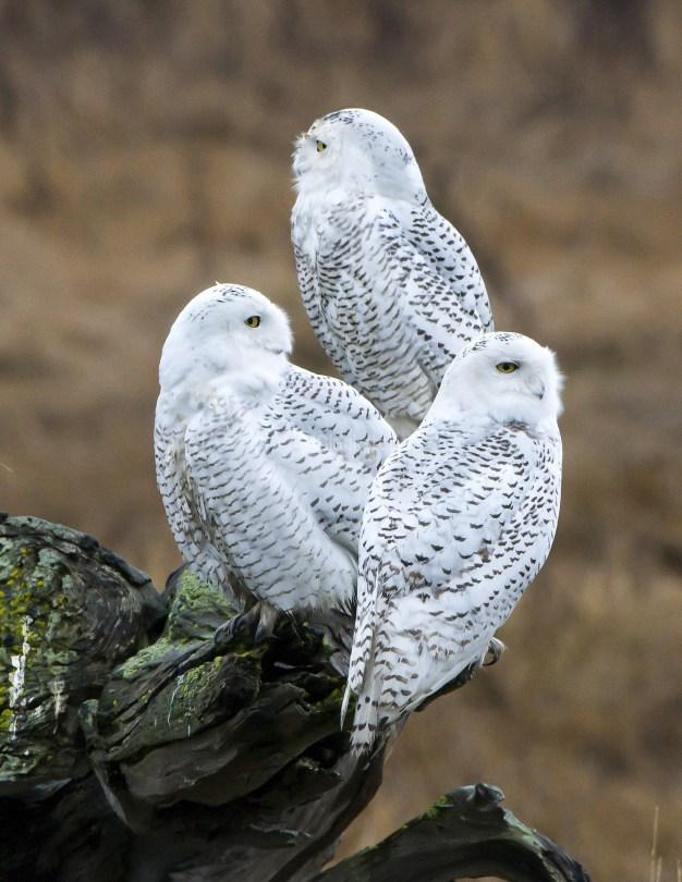 Three Snowy Owls