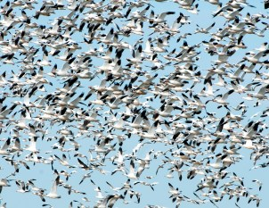Snow Geese in Flight 1