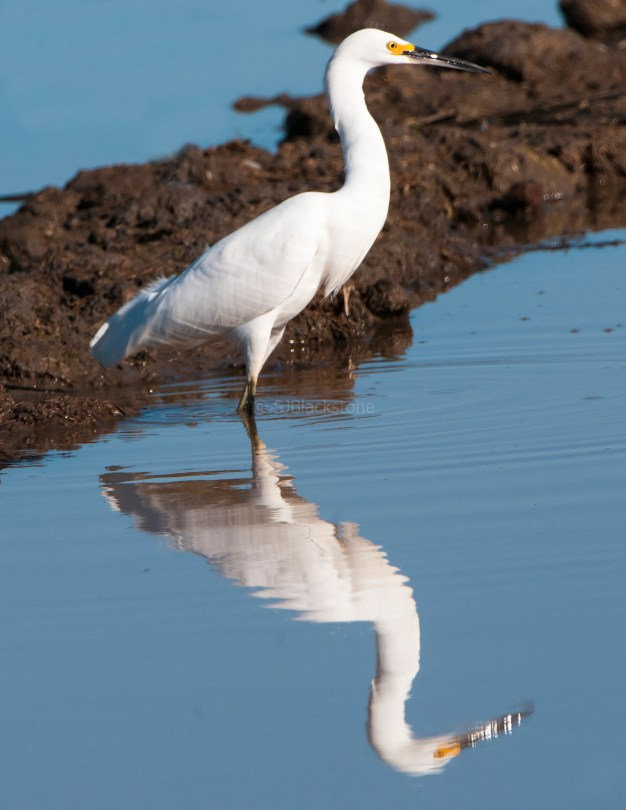 Snowy Egret Looking Good