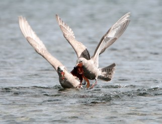 March Glaucous-Winged Gulls5