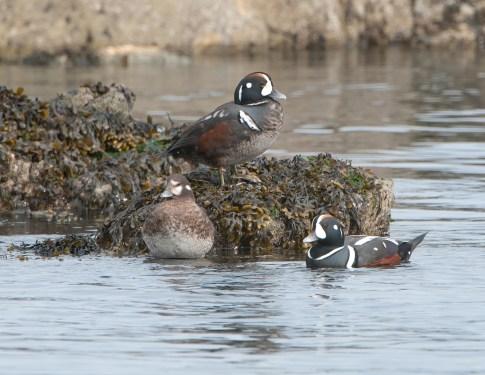 March Harlequin Ducks2