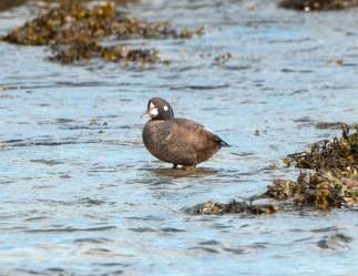 March Harlequin Ducks4
