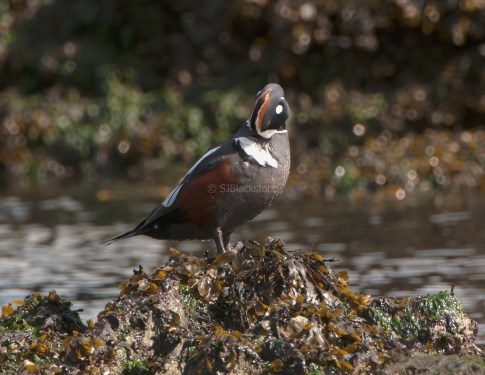 March Harlequin Ducks12