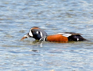 March Harlequin Ducks15