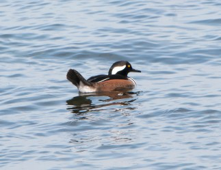 March Hooded Mergansers3