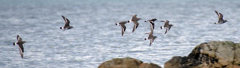Surf Birds and Black Turnstones2