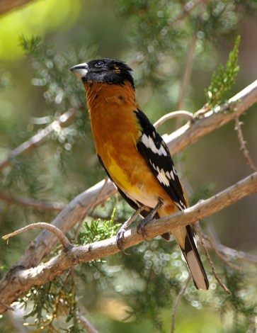 Black-headed Grosbeak2