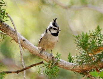 Bridled Titmouse2