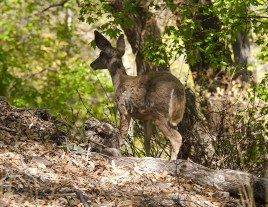 Coue's Whitetailed Deer