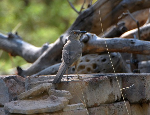 Curve-Billed Thrasher2