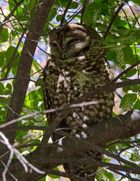 Spotted Owl5